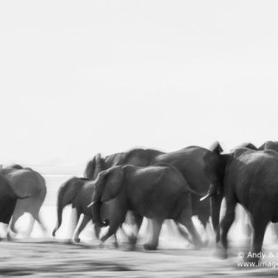 African Elephant-17
