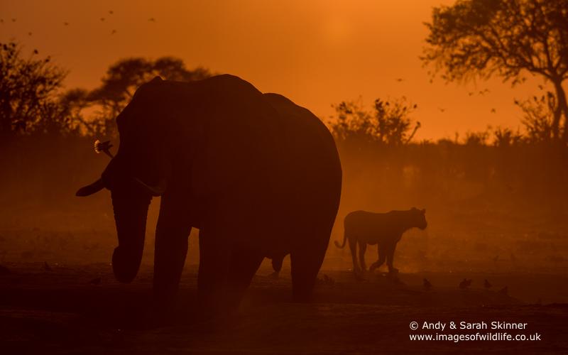 African Elephant-18