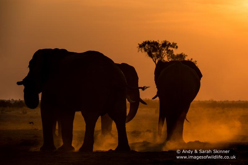 African Elephant-19