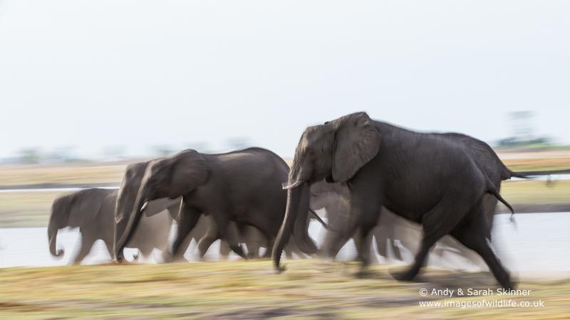 African Elephant-2