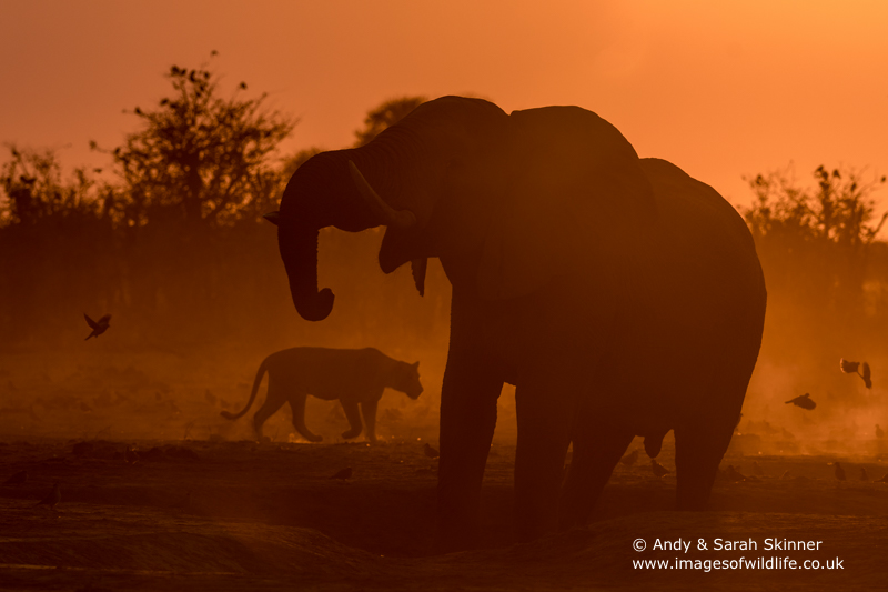 African Elephant-20