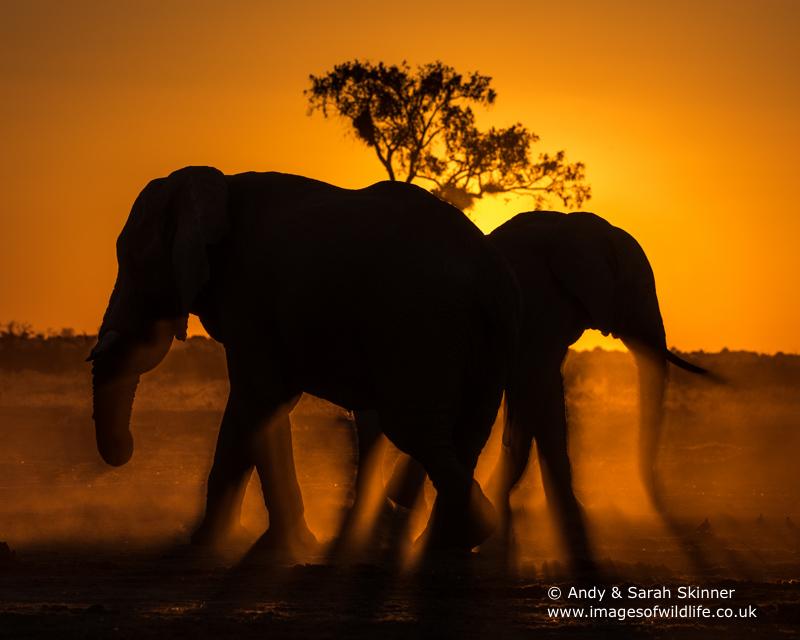 African Elephant-21