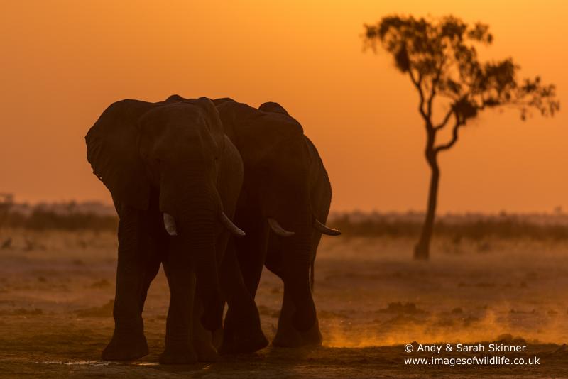 African Elephant-22