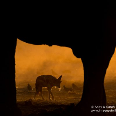 African Elephant-24
