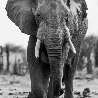 african-elephant-28