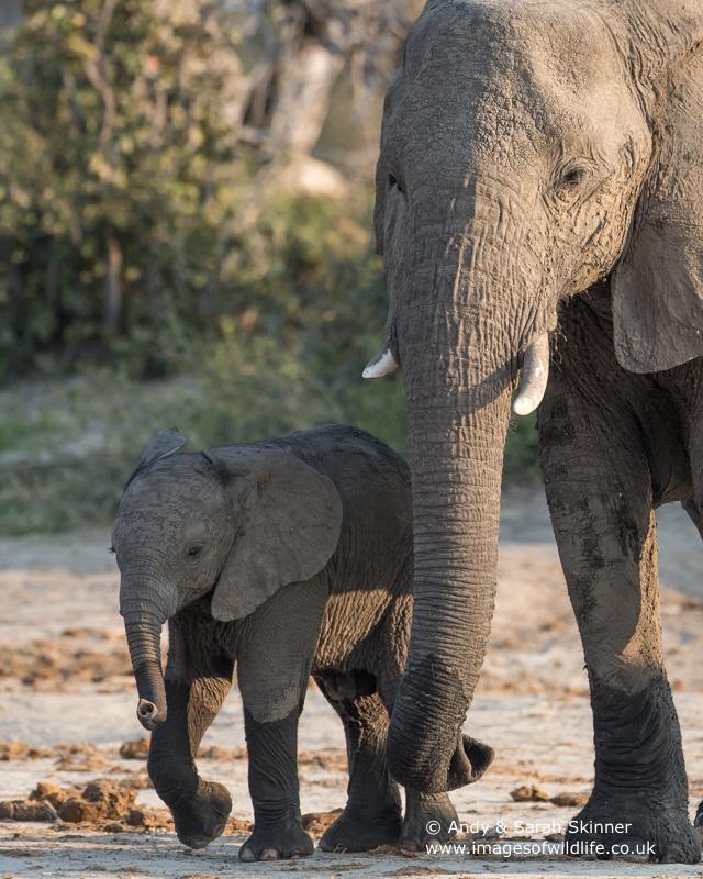 African Elephant-5
