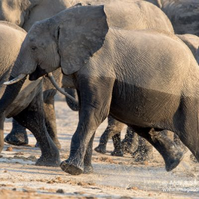 African Elephant-6