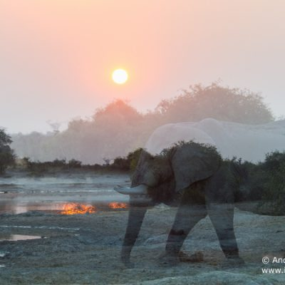 African Elephant-7