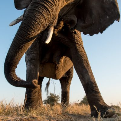 African Elephant-8