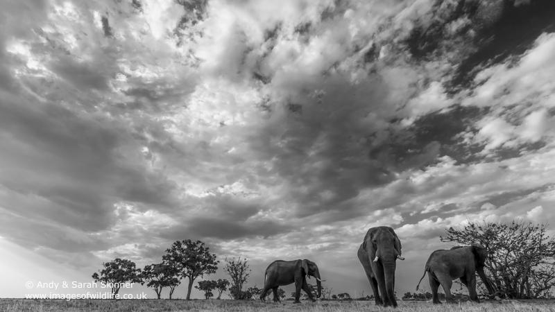 African Elephant-9