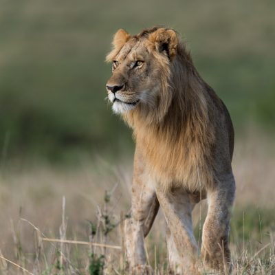 African Lion-14