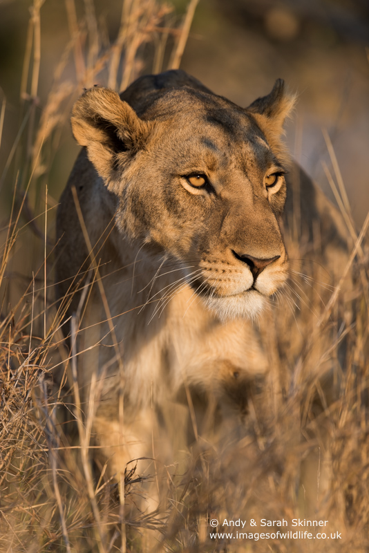 African Lion-24