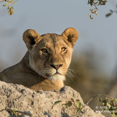 African Lion-25