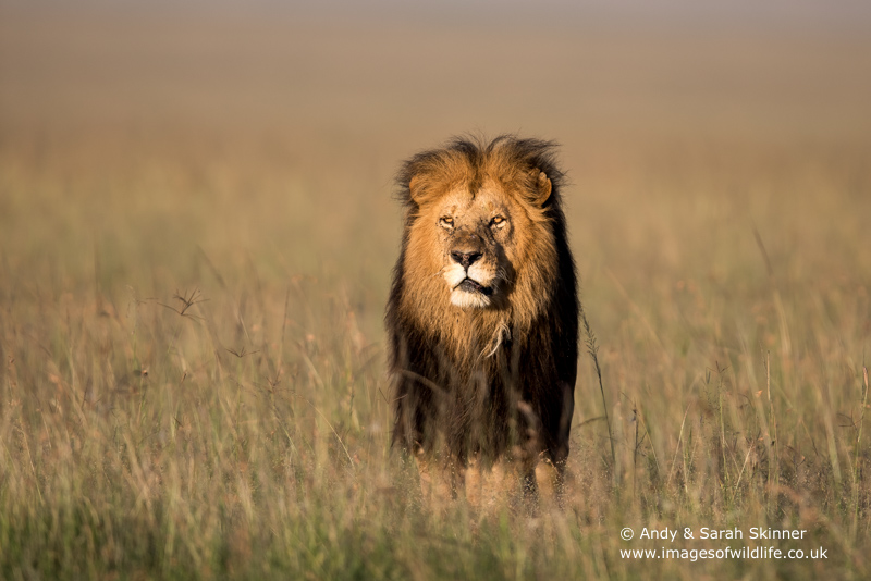 African Lion-34