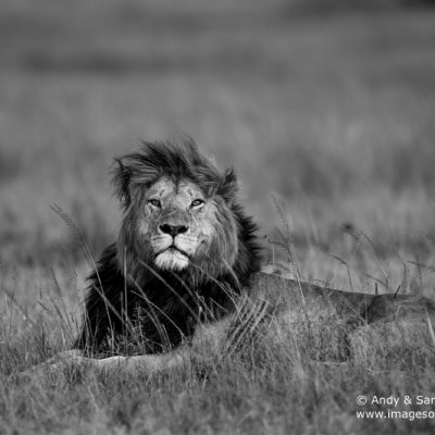 African Lion-5