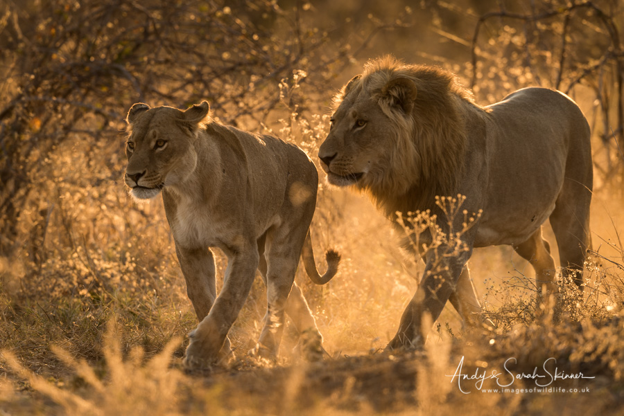 african-lion-59