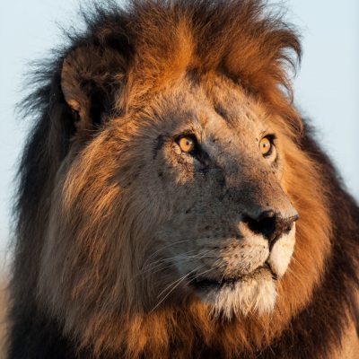 African Lion-6