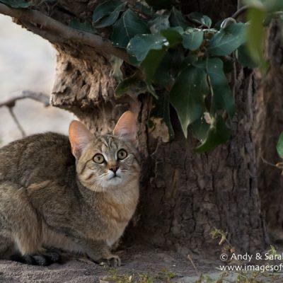 African Wild Cat 001