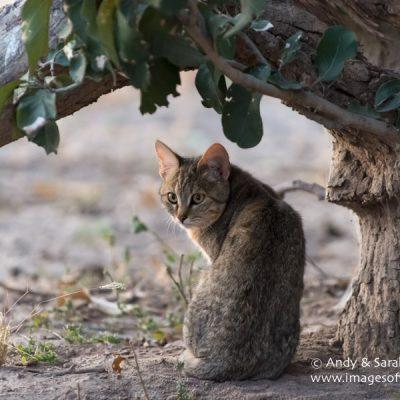 African Wild Cat 002