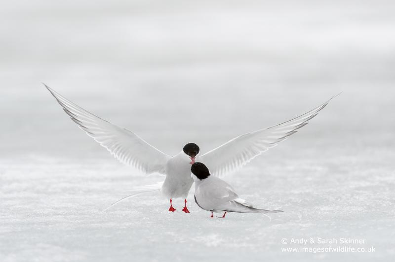 arctic-tern-01