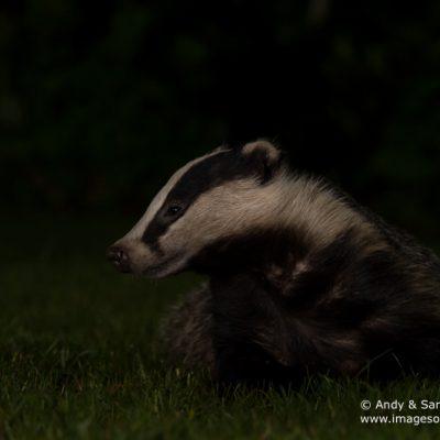 badger-01