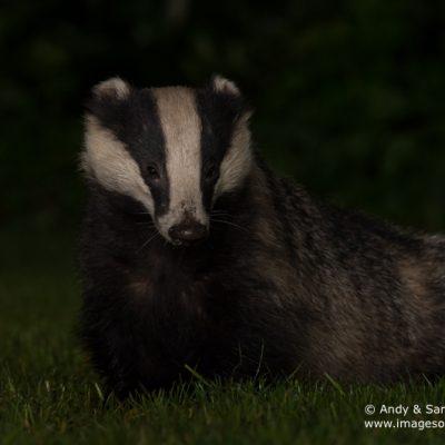 badger-03