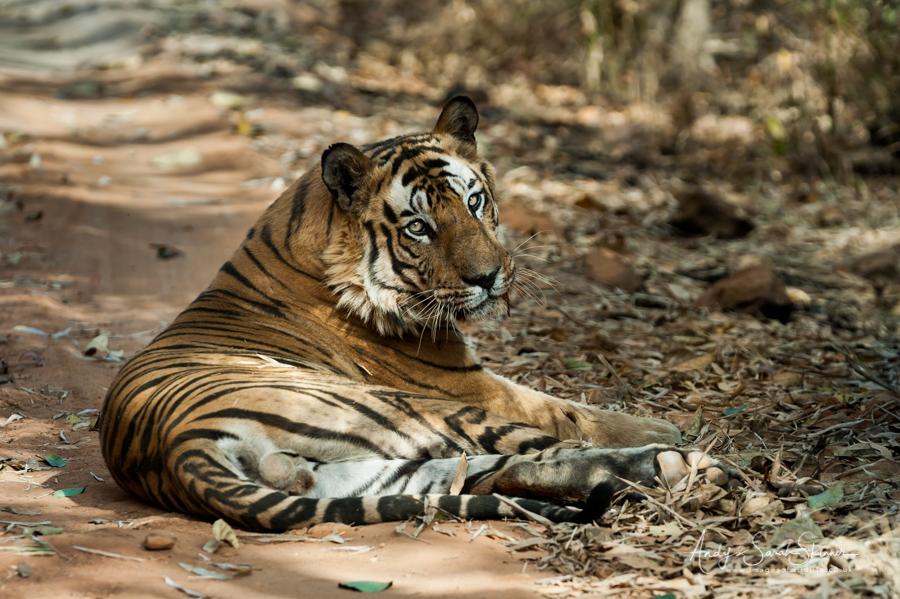bengal-tiger-10