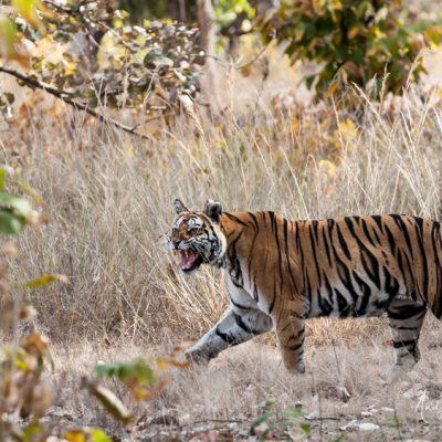 bengal-tiger-11
