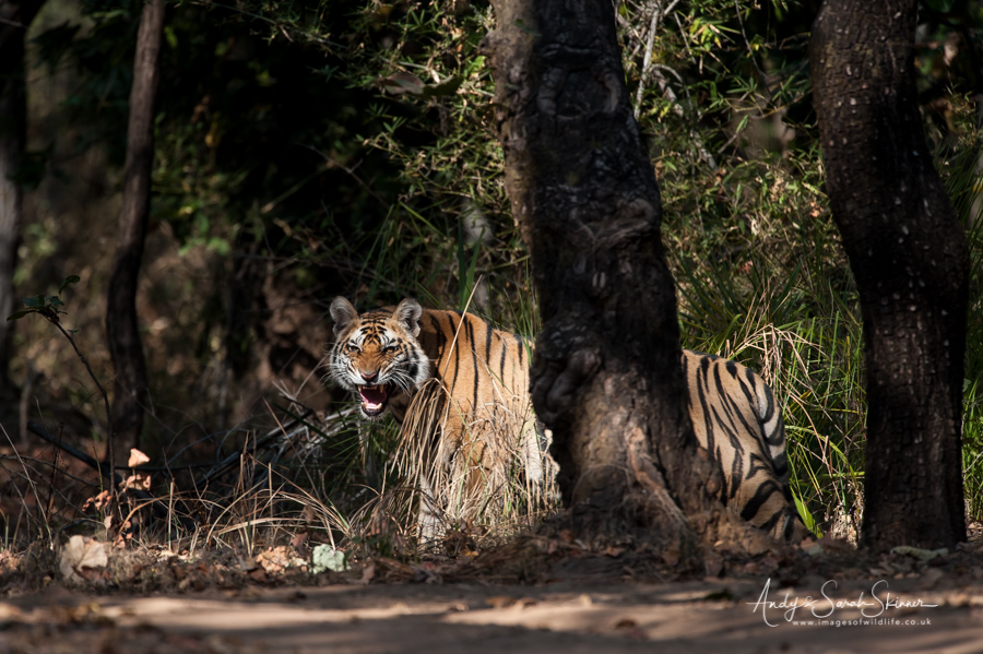 bengal-tiger-13