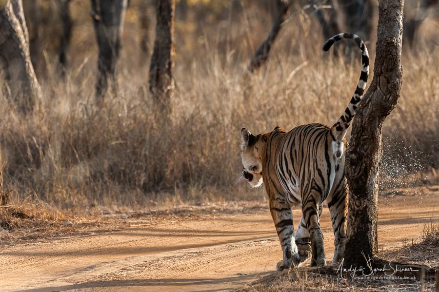 bengal-tiger-14