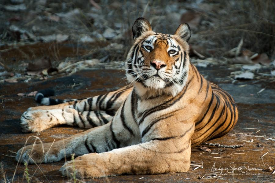 bengal-tiger-15