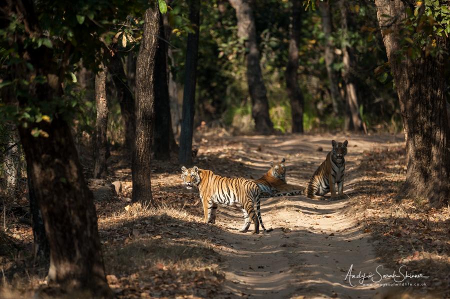 bengal-tiger-16