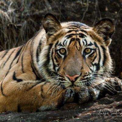 bengal-tiger-2