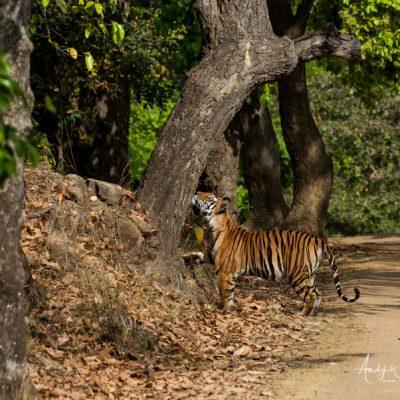 bengal-tiger-5
