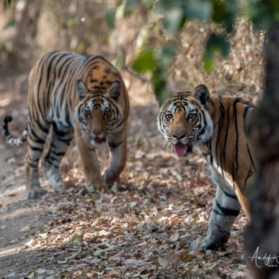 bengal-tiger-7