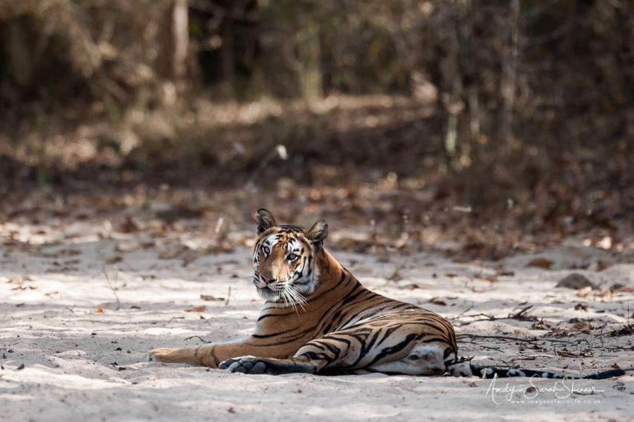 bengal-tiger-8