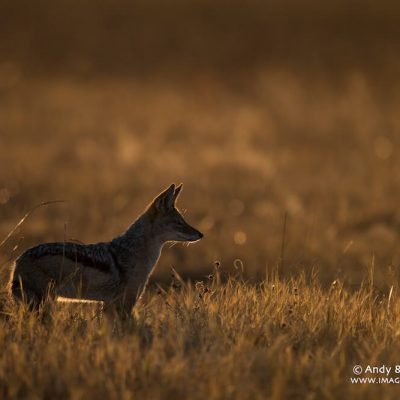Black Backed Jackal 003