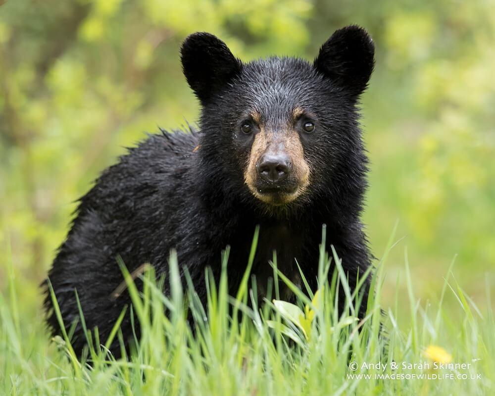 Black Bear 012