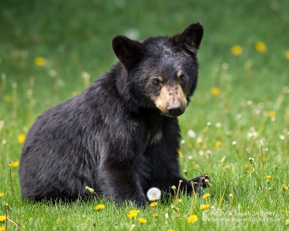 Black Bear 013