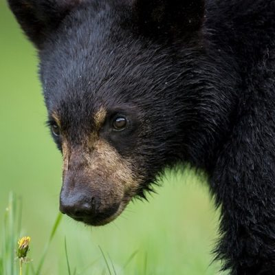 Black Bear 014