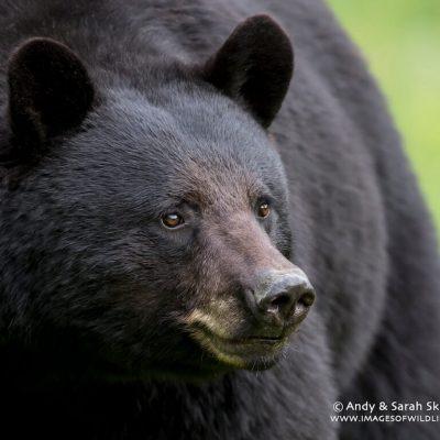 Black Bear 015