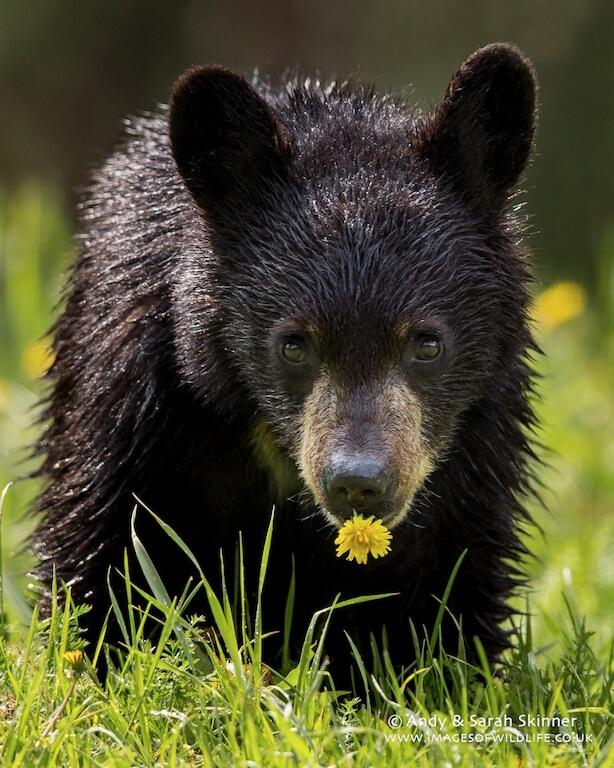 Black Bear 016