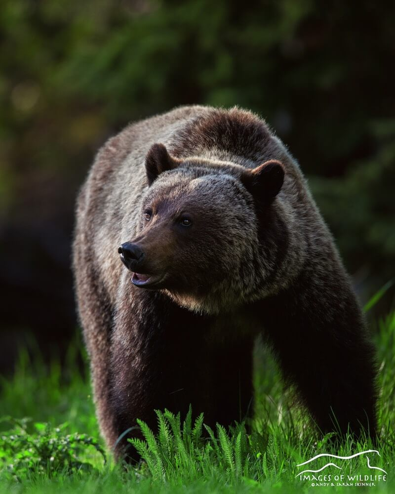 Brown Bear 040