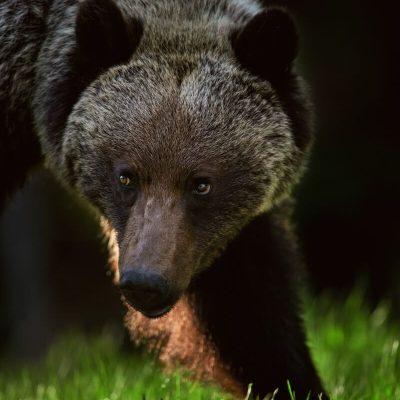 Brown Bear 041