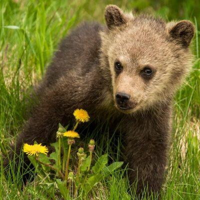 Brown Bear 045