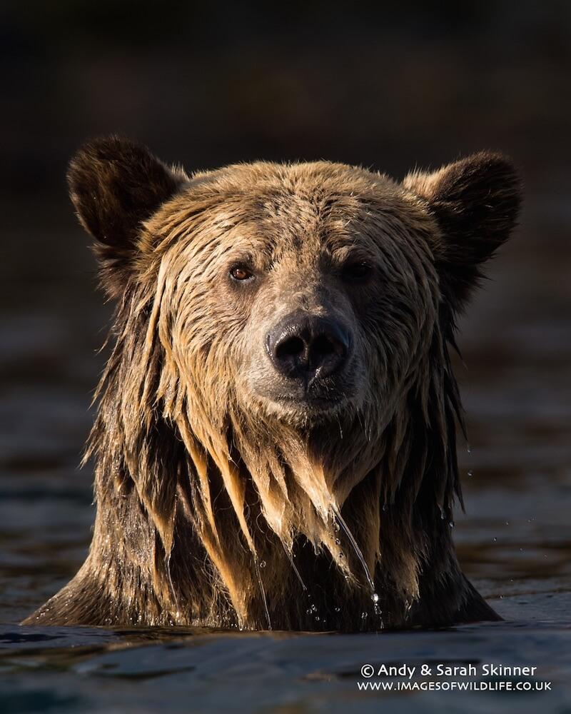 Brown Bear 047