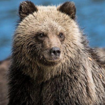 Brown Bear 049