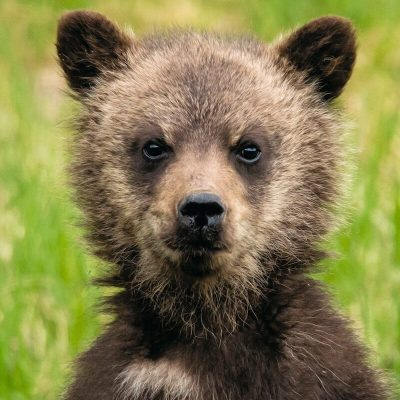 Brown Bear 050