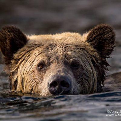 Brown Bear 052