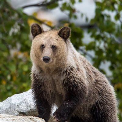 Brown Bear 056